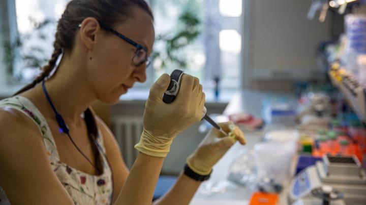 Как учёные очеловечивают мышь для «Вектора», чтобы заразить коронавирусом. Это спасёт мир