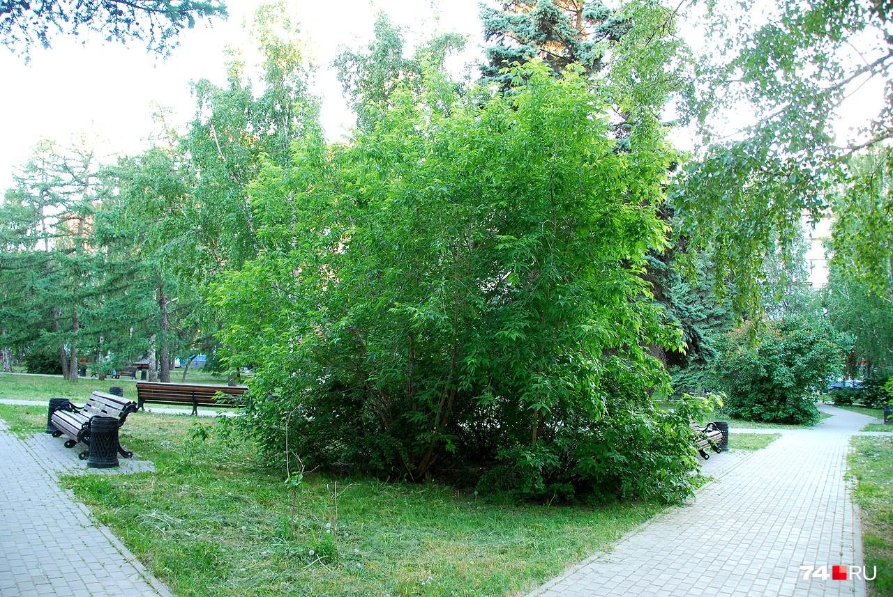 Ясенелистный клён без ухода превращается в неряшливый куст, зато хорошо поддаётся формовке