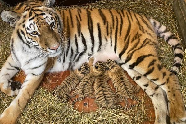 Четырём тигрятам сегодня исполняется 12 дней. Как рассказали в цирке, у них всё хорошо