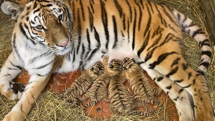 В цирке разродилась тигрица Магда. Сотрудники сняли видео с её малышами
