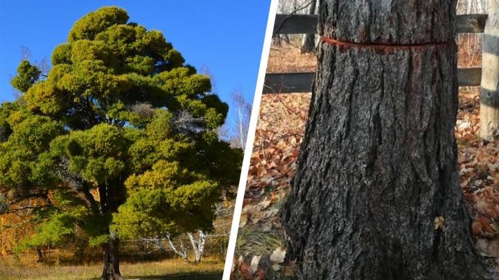 Кужановские лиственницы vs бизнес: история о том, как в Башкирии уничтожили столетние особо охраняемые деревья