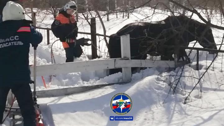 Новосибирские спасатели достали застрявшую в заборе лошадь