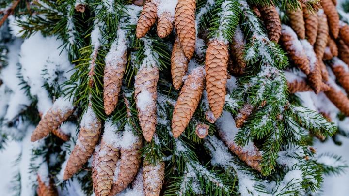 Жителям Прикамья рассказали, где можно срубить живую ель к Новому году