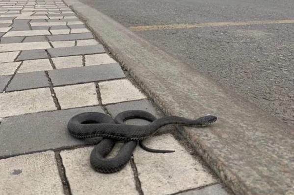Змея ползла прямо по дороге