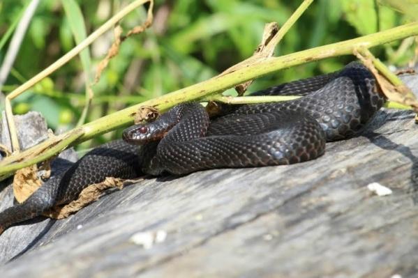 В Тюменской области из ядовитых змей встречаются только гадюки