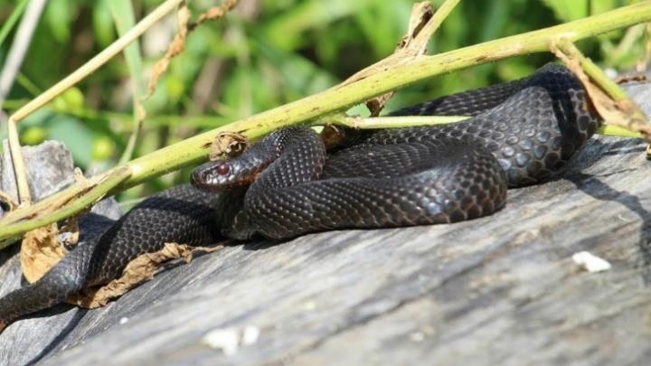 По тюменской набережной ползают змеи