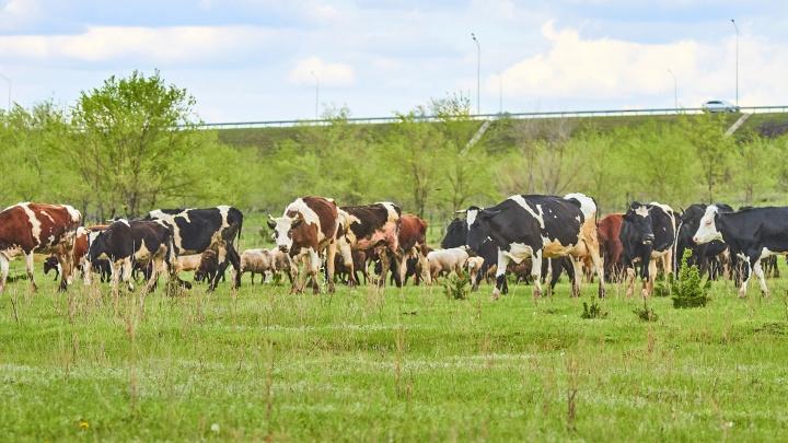 В Самарской области у коров обнаружили опасное для человека заболевание
