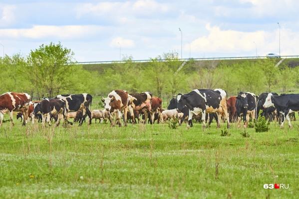 Поголовье скота на будущей ферме должно составить не менее 2400 штук