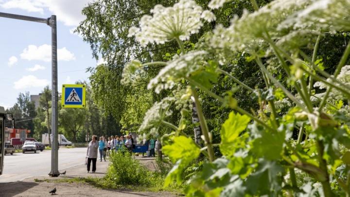 Власти начнут тратить деньги на борщевик: за год сорняк захватил в Ярославле новые земли