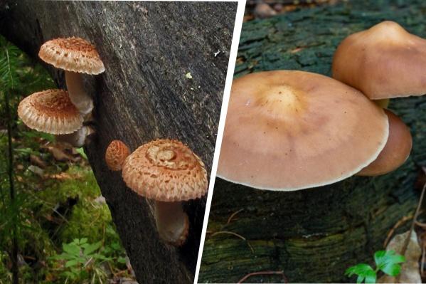 Оба вида несъедобны. Слева —пилолистник бороздчатый, справа — родоколлибия каштаново-белая