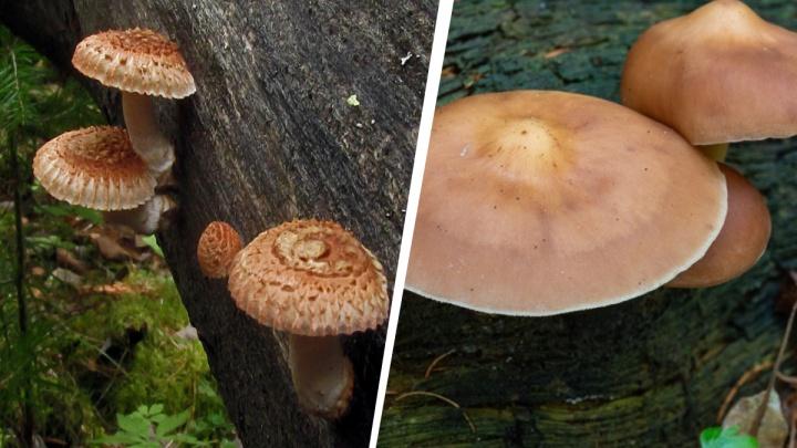 В Академгородке выросли редкие грибы, но есть их нельзя — показываем, как они выглядят