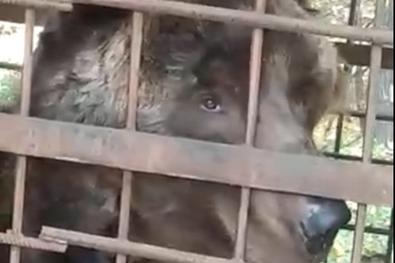 «Один уже умер от голода, второй на грани»: в Башкирии грибники нашли клетку с запертым медведем