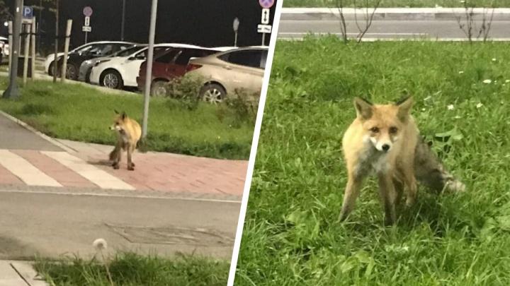 Совершенно не боятся людей! Лисы бегают по дворам в двух районах Екатеринбурга: видео