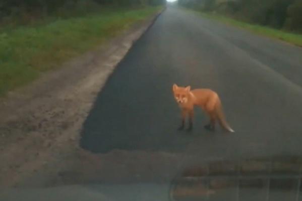 В Тутаевском районе женщина умерла после укуса лисы