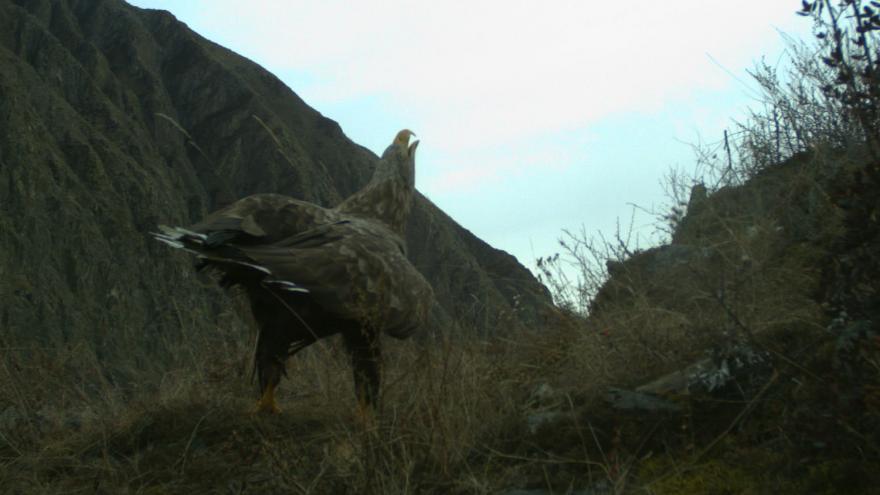 В Шушенском заповеднике фотоловушка зафиксировала поющего краснокнижного орлана