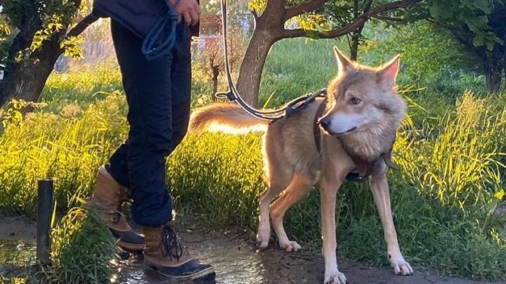 «Он тянет меня в город»: в Волгограде поселившийся в «однушке» волк сменил прописку