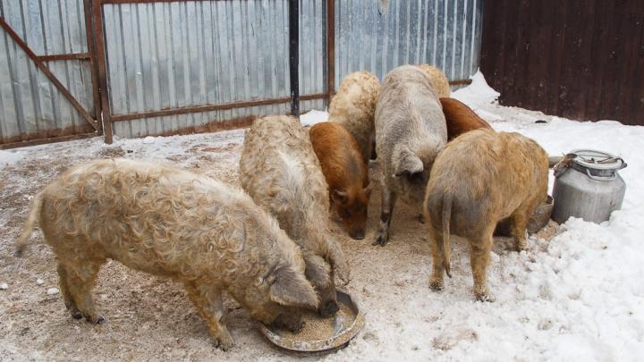 Уничтожить животных и не продавать мясо: в Волгоградской области у свиней нашли вирус африканской чумы