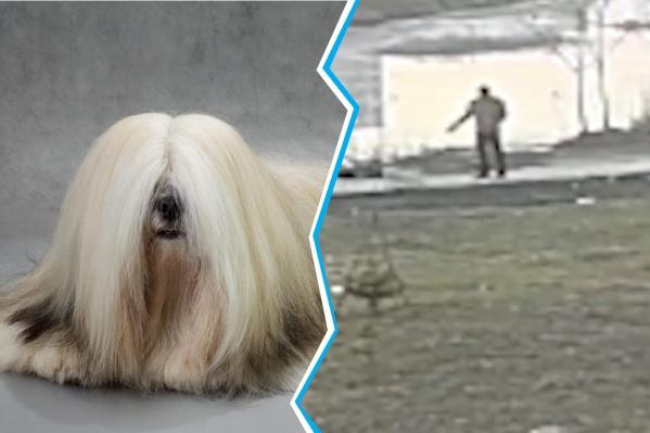 Пса породы лхасский апсо застрелили во время утренней прогулки