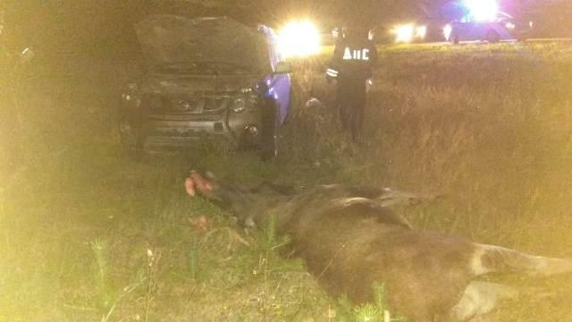 В Свердловской области стали чаще сбивать животных. Как не попасть в ДТП с лосем?