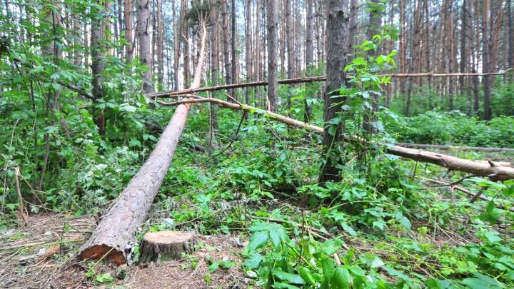 «Попытался поймать дерево, падавшее на ЛЭП»: в Таборах от удара током погиб лесозаготовитель
