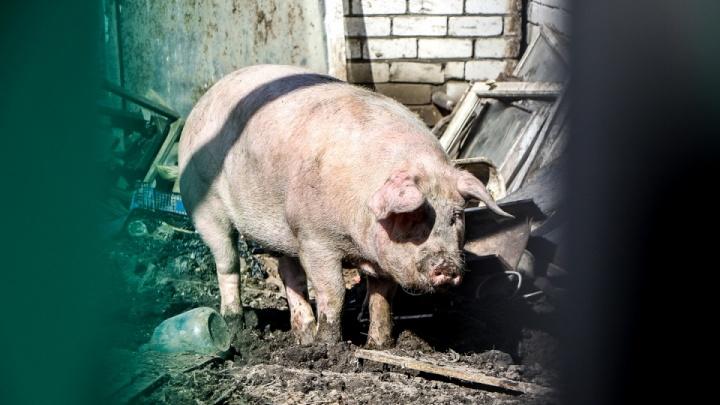 В Княгининском районе обнаружили африканскую свиную чуму