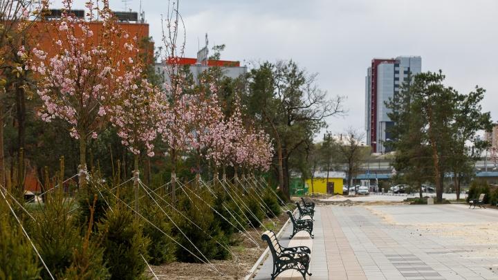 Появился шанс? Пустыри в волгоградском ЦПКиО засадили высокими деревьями и сакурой