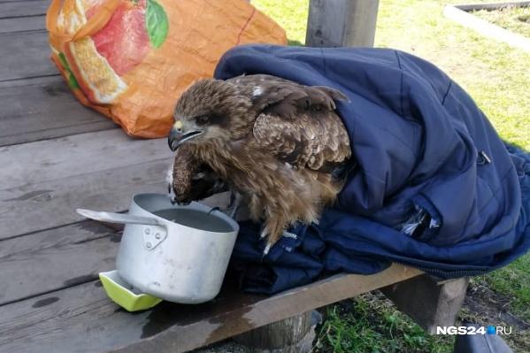 Коршун пьёт водичку, пока люди ищут ветеринара