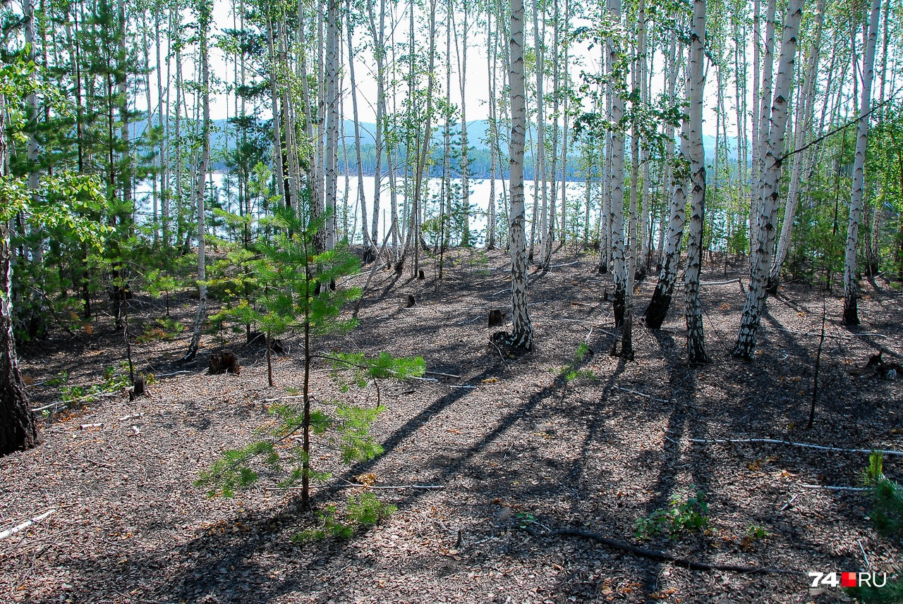 Гектары леса вокруг карабашских водоёмов не имеют травы. Снимок сделан возле пруда на Сак-Элге, но такая же картина в местах, где разливается Миасс: похоже, его вода не менее «целебна»