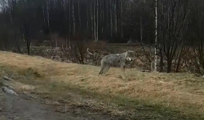 В Каргопольском районе волк чуть не загрыз девочку. Елена Фокина считает, что отстрел не поможет