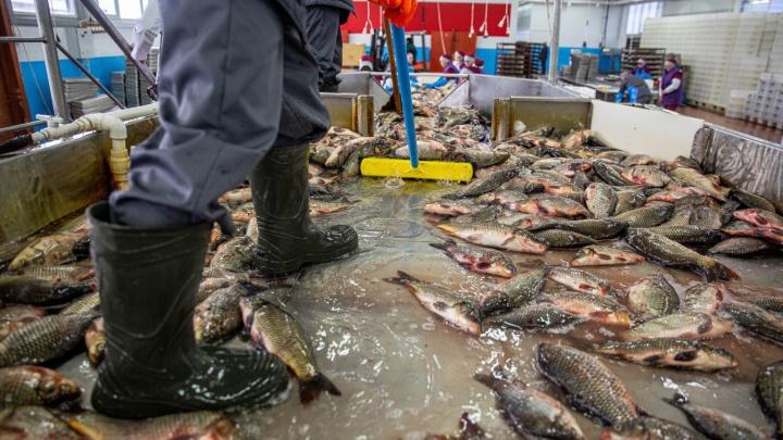В озере сидит карась: 20 захватывающих фото, как разводят рыбу (рыбаки сойдут с ума)