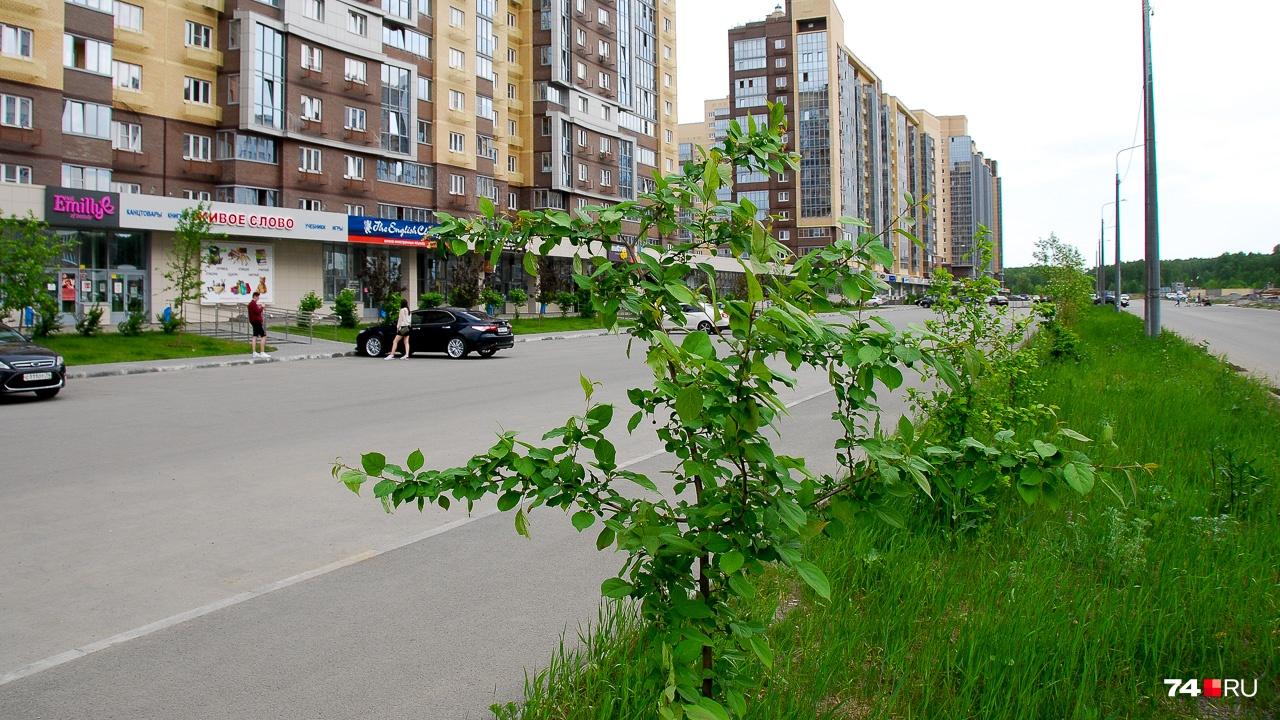 А вот посадка в одном из новых микрорайонов Челябинска: возможно, она приживётся, но на это потребуется время, и не факт, что дерево будет иметь эстетичный вид