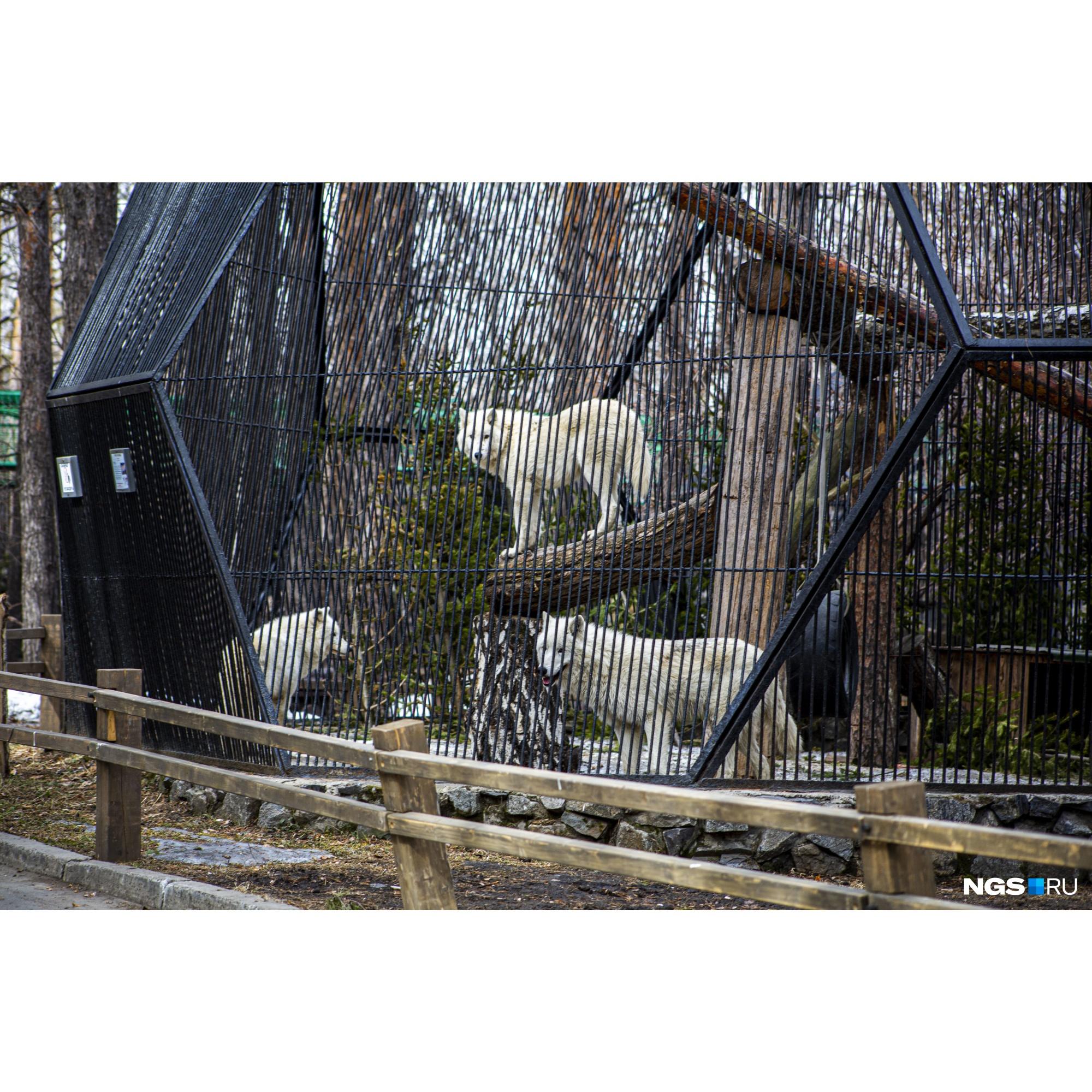 Смотрители рассказывают, что без посетителей волки взвыли