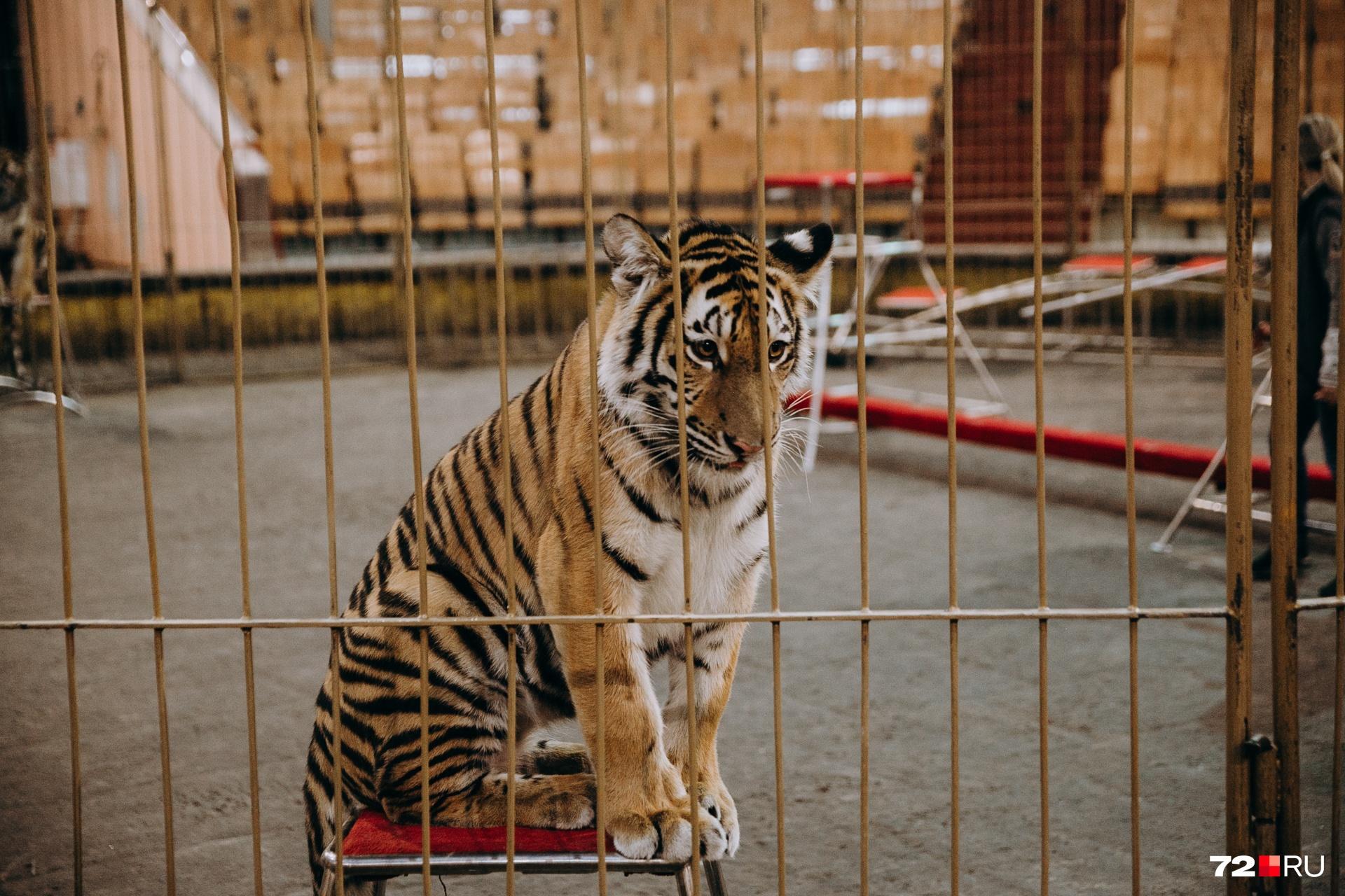 Это тигр-подросток Ляля. Она грустит, потому что побила лапами остальных участников номера, и они все на нее разозлились
