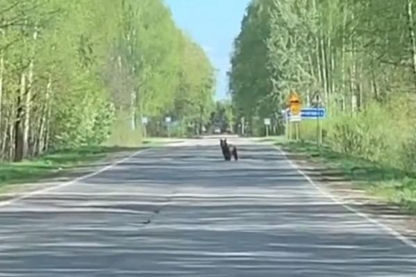 До медвежонка было несколько десятков метров, но он решил, что не подпустит к себе ближе. И убежал