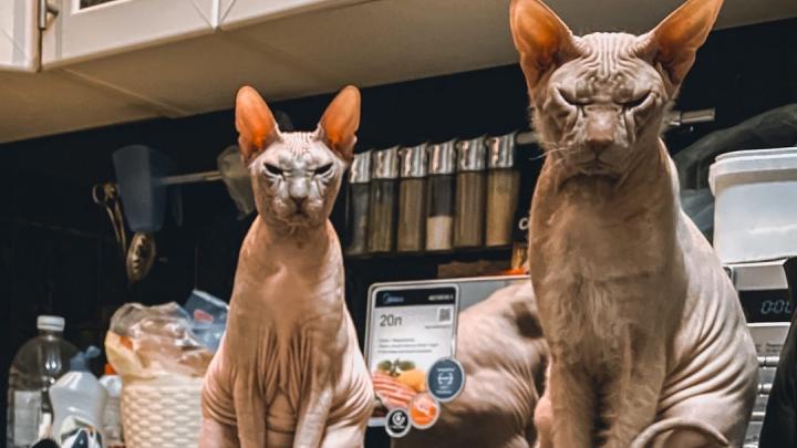 «А не пора бы вам на работу?» О чем думают котики челябинцев, сидящих в изоляции из-за COVID-19