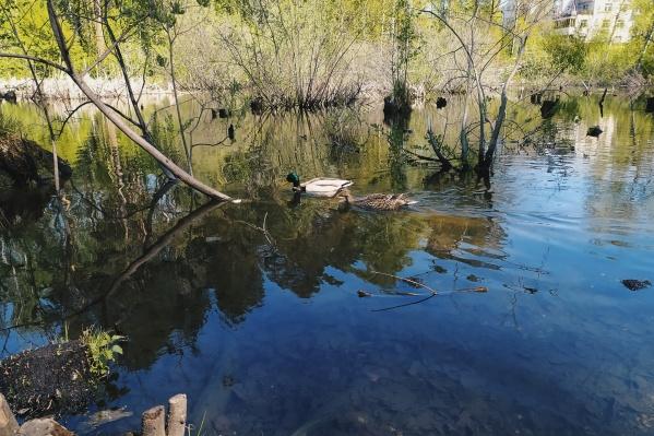 Утки вернулись к гнёздам после зимовки на незамёрзших водоёмах
