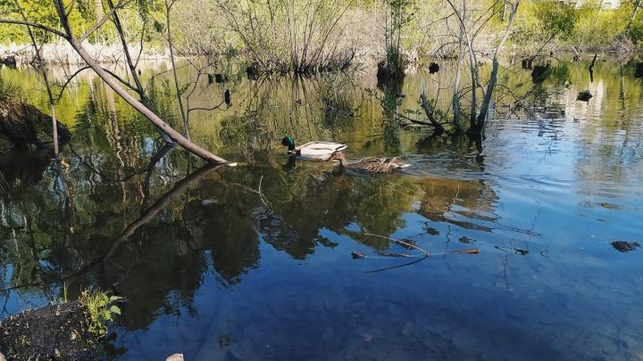 На пруд Академгородка вернулись утки — скоро они приведут маленьких утят