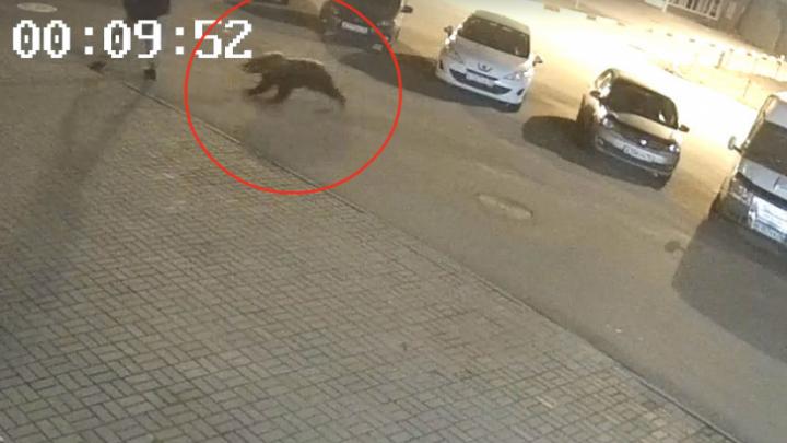 Как дикий медведь, напавший на человека, оказался в Ярославле: две версии