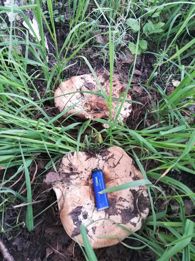 Еще одна находка в молодых березнячках Новосибирской области. Свинухи найдены Сергеем Григорьевым