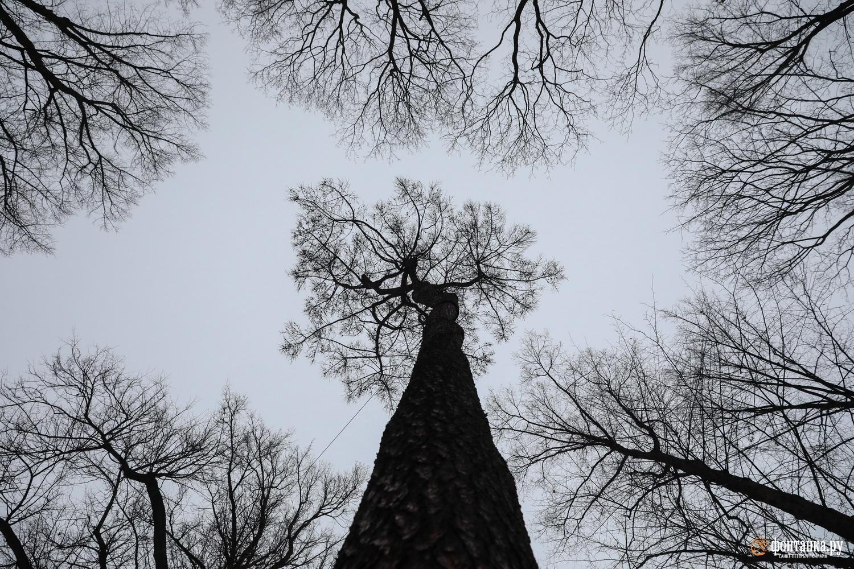 Старейшее в городе хвойное дерево — лиственница, 294 года