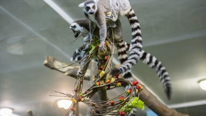 Семью лемуров в Новосибирском зоопарке накормили из корзинки — смотрим милое видео