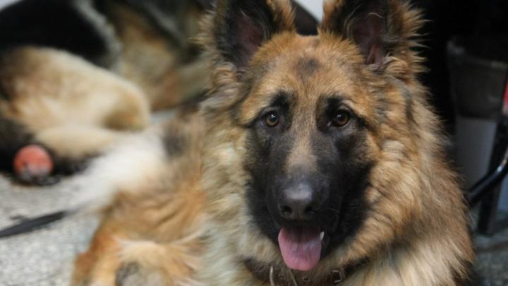 Житель Прикамья заплатит 80 тысяч рублей за нападение его собаки на ребенка