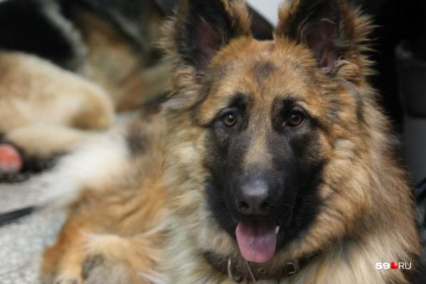 На ребенка напала собака породы немецкая овчарка