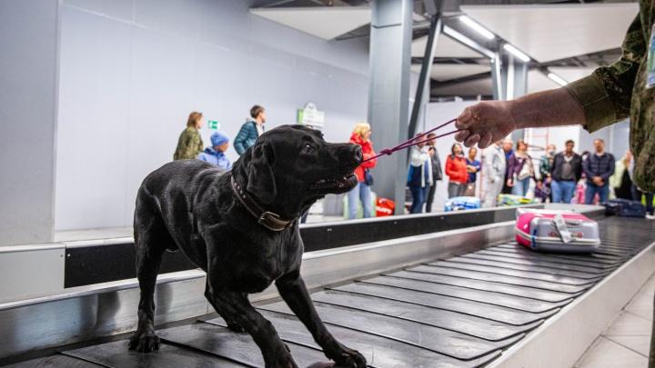 Какую запрещёнку пытаются вывезти из Толмачёво: проверяем багаж пассажиров вместе с таможенниками