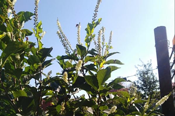 Из-за жаркой весны растения решили, что можно распустить цветы и в августе