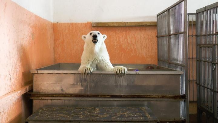 В Екатеринбург приехали полярные медведи. Мимимишное видео