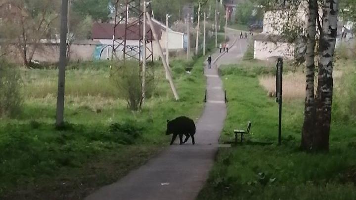 «Звери отвоёвывают пространство»: в Ярославской области в городской парк вышел кабан
