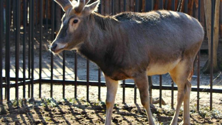 Растут по два сантиметра в сутки: пушистыми тёплыми рожками обзавелся нижегородский олень Тор