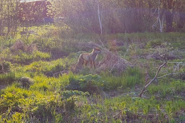 Говорят, лису в Соломбале видят не в первый раз