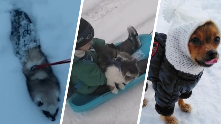 Кота возят на санках, хорек прячется в сугробе: как домашние любимцы радуются снегу — смотрим фото и видео